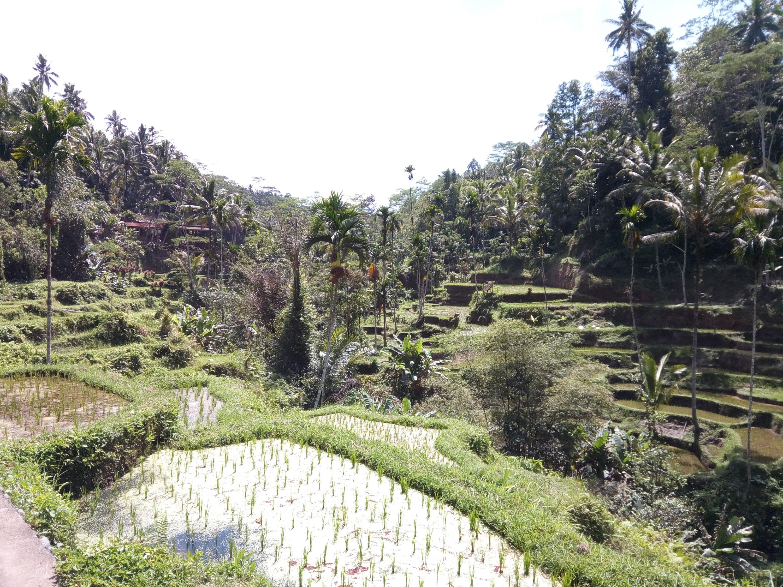 Tegallalang rijstvelden op Bali